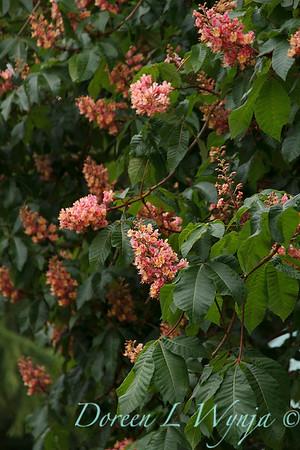 Aesculus x carnea tree_4349