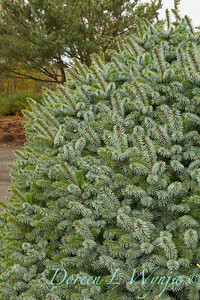 Picea sitchensis 'Papoose'_6422