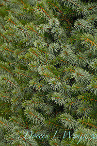 Picea sitchensis 'Papoose'_6423