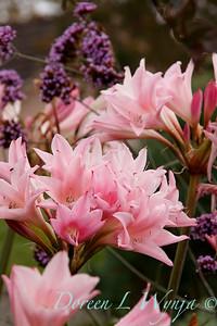 Amaryllis belladonna_0571