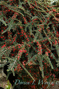 Cotoneaster horizontalis_1801