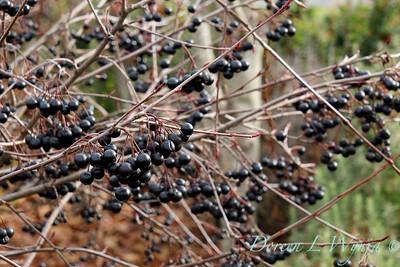 Aronia melanocarpa 'Viking' with winter berries_0888