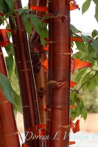 Prunus serrulata_2584