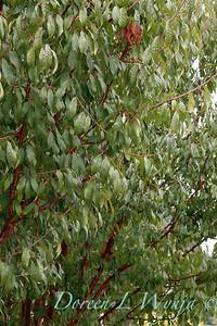 Prunus serrulata_2588