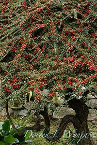Cotoneaster horizontalis_1807