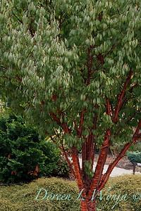 Prunus serrulata_2575