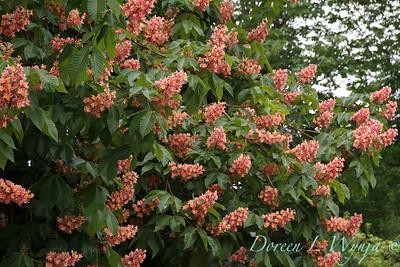Aesculus x carnea tree_4352