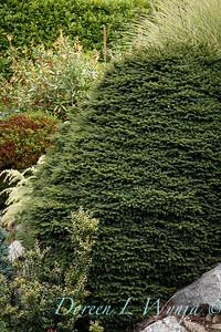 Picea abies 'Pumila'_1812