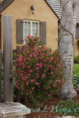 Anisodontea x hypomandarum 'Tara's Pink' in a landscape_0578