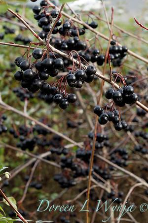 Aronia melanocarpa 'Viking' with winter berries_0886