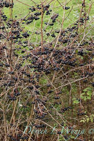 Aronia melanocarpa 'Viking' with winter berries_0894