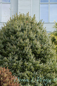 Picea sitchensis Papoose_012