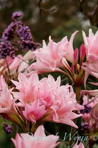 Amaryllis belladonna_0570