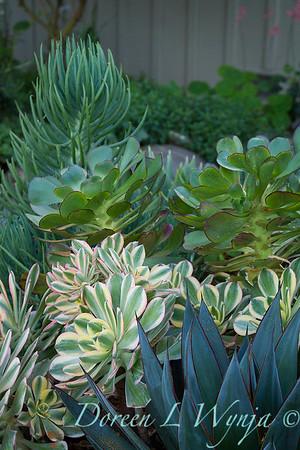 Aeonium decorum 'Sunburst' - Agave 'Blue Glow' succulent garden_2088