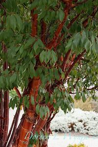 Prunus serrulata_2581