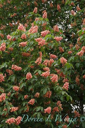 Aesculus x carnea tree_4345