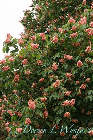 Aesculus x carnea tree_4343