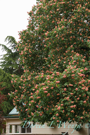 Aesculus x carnea tree_4356