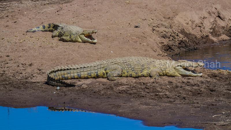 Nile crocodiles relaxing under the sun on Mara River banks in Masai Mara.