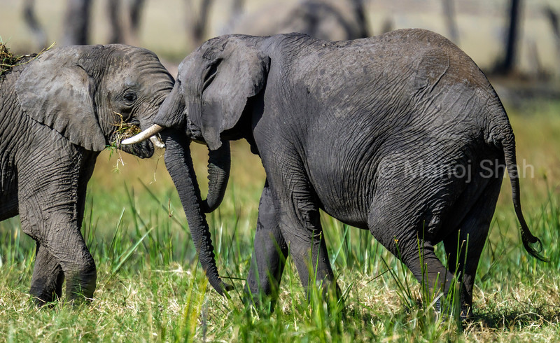 adult african elephants in a play fight while grazing in Masai Mara.