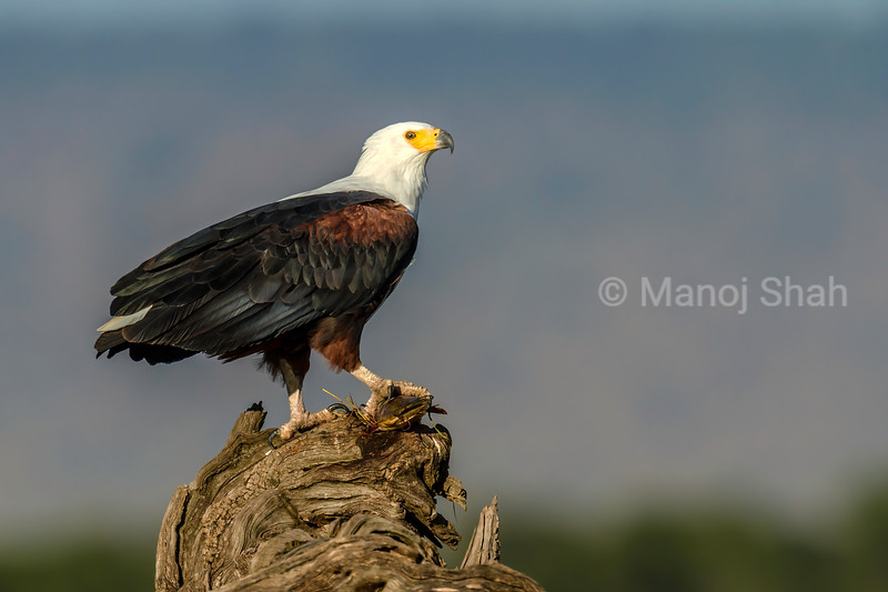 African Fish Eagle with a catfish kill gripped in his talons in Masai Mara.