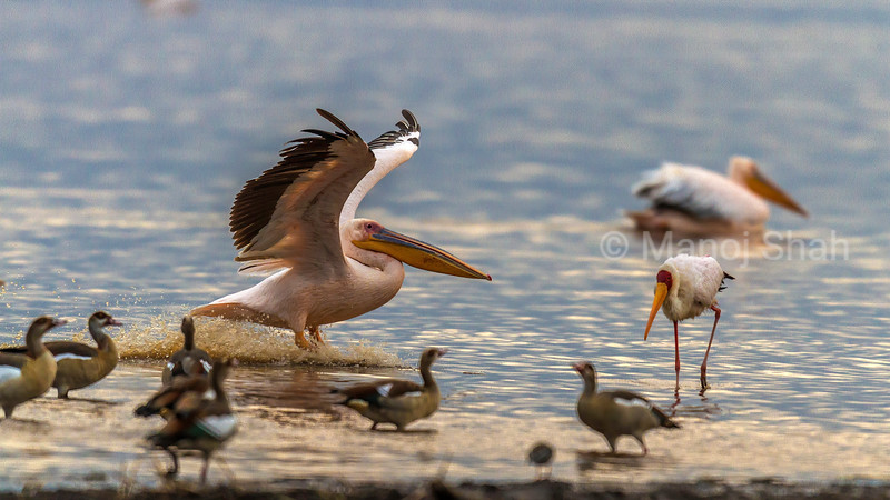 White pelican landing from A flight in Lake Nakuru surrounded by Egyptian Geese and Yellow Billed Stork.