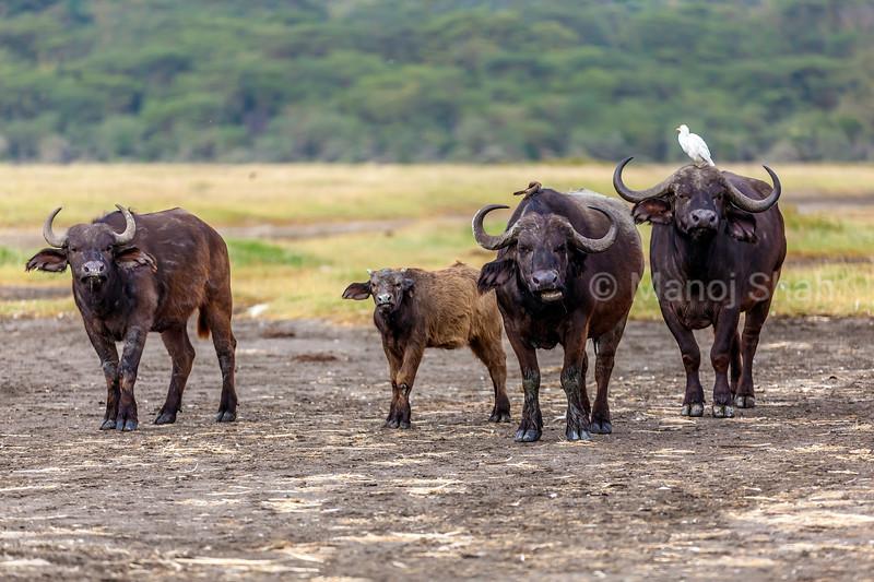 African Buffalo family at Lake Nakuru National Park, Kenya