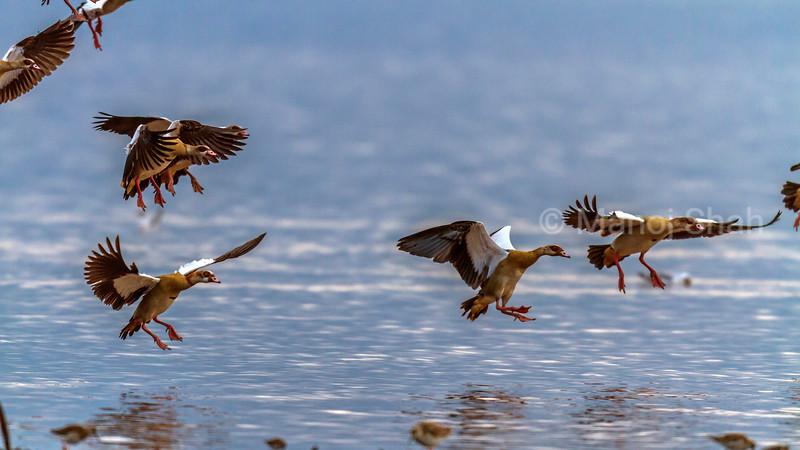 Flock of Egyptian geese landing in Lake Nakuru, Kenya