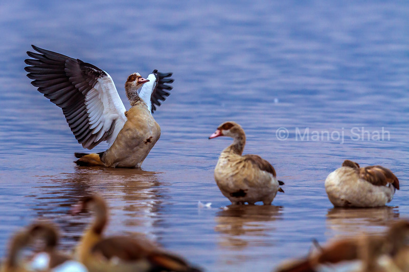 Egyptian Goose flapping its wings in Lake Nakeru water in Lake Nakuri National Park, Kenya.