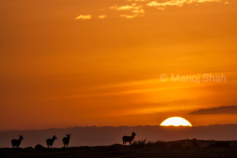 Waterbucks walking in Masai Mara at sunrise.