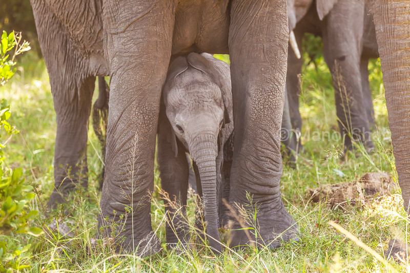 African elephant baby enjoying grazing grass and playing with its trunk between mother's legs  in Masai Mara.