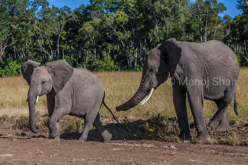 African elephants crossing the road  in Masai Mara.