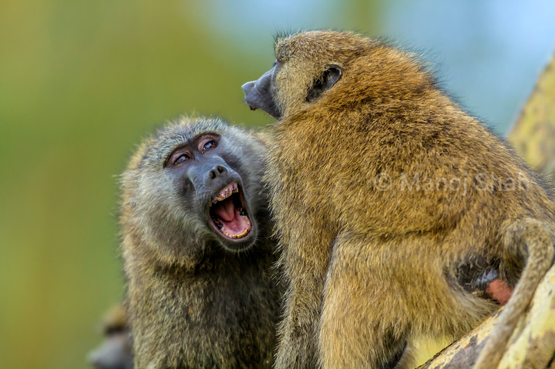 Male Olive baboon youngsters play fighting in Lake Nakuru National Park, Kenya