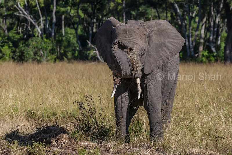 African elephant baby enjoying grazing grass and playing with its trunk in Masai Mara.