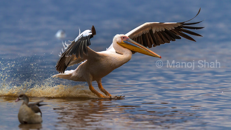 White pelican landing from A flight in Lake Nakuru.