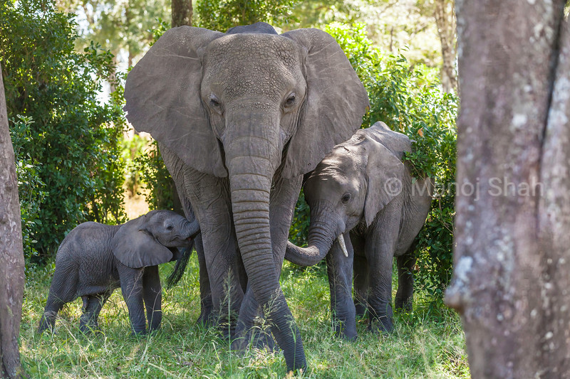 adult african elephant in intimacy with two elephant babies in Masai Mara.