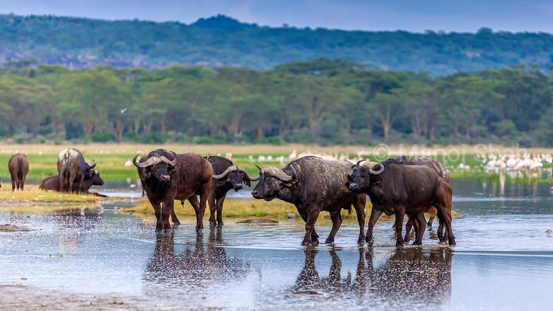 African Buffalo walking in lake Nakuru water, Lake Nakuru National Park, Kenya