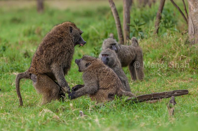 Olive baboons in disagreement in Lake Nakuru National Park, Kenya
