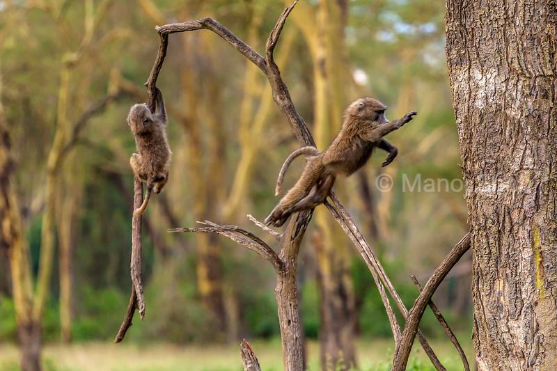 OLive baboon youngsters playing on trees in Lake Nakuru National Park, Kenya