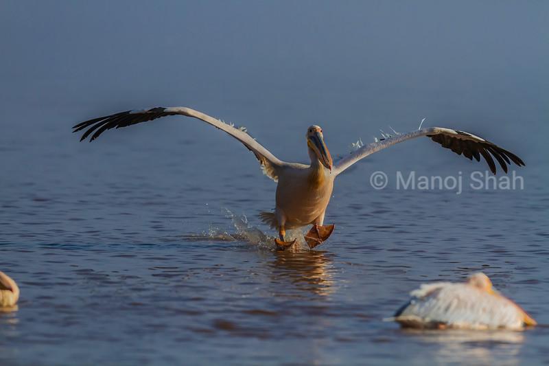 Great White Pelican landing on Lake Nakuru waters in Lake Nakuru National Park, Kenya