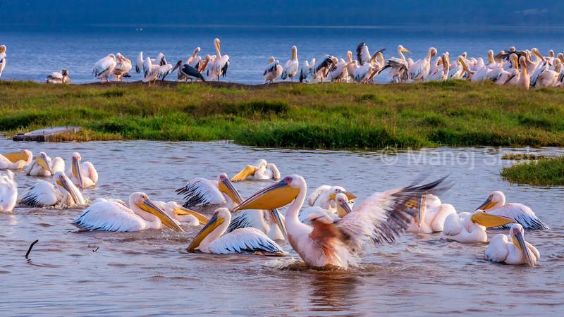 Great White Pelicans colony bathing in Lake Nakuru, Lake Nakuru National Park, Kenya