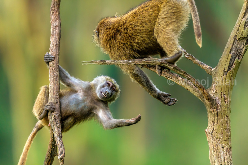Olive baboon youngsters play fighting in Lake Nakuru National Park, Kenya