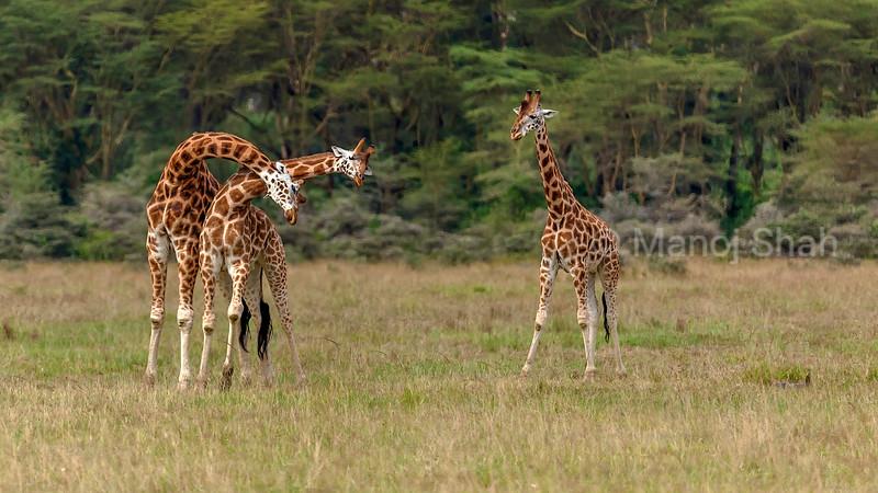 Rothschild's giraffes necking in Lake Nakuru National Park, Kenya