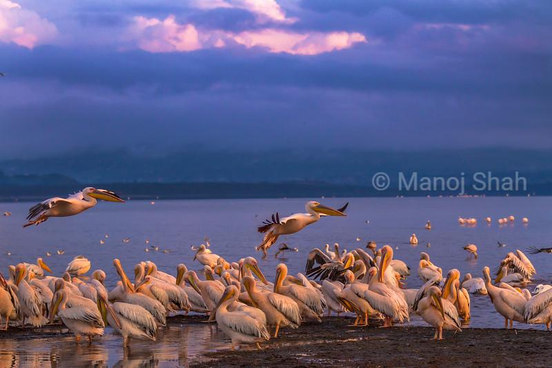 Great White Pelican colony in Lake Nakuru, Lake Nakuru National Park, Kenya
