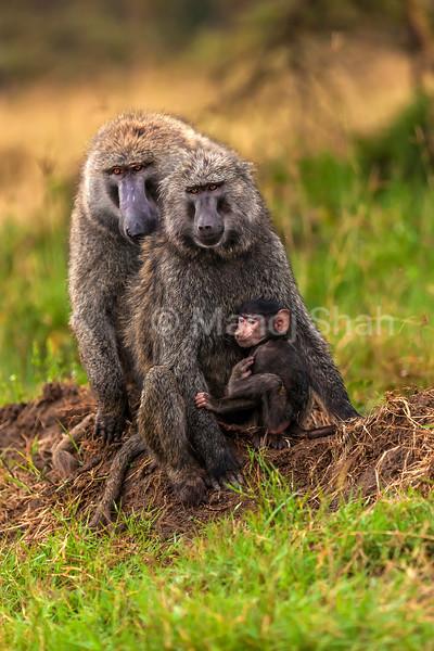 Olive Baboon family in Lake Nakuru National Park, Kenya