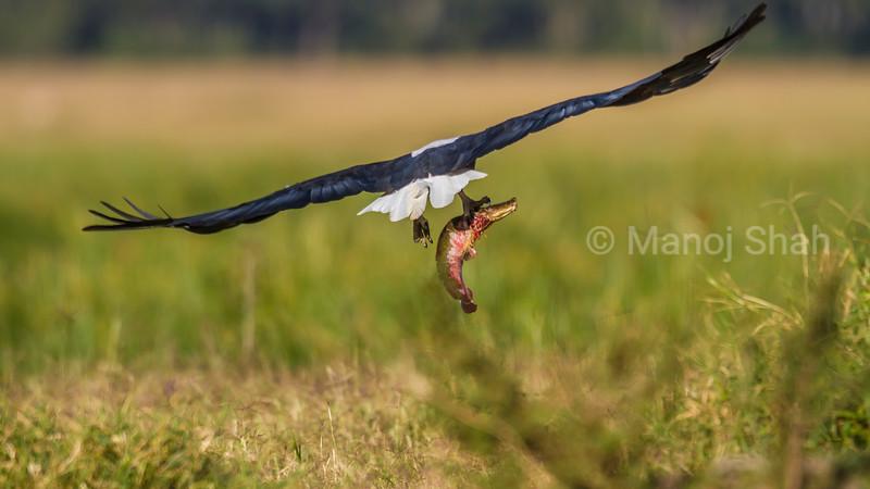 African Fish Eagle flies away with a cat fish kill in Masai Mara.