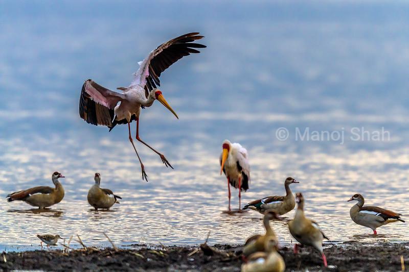 Yellow Billed Stork landing amidst Egyptian Geese in Lake Nakuru, Lake Nakuru National Park, Kenya