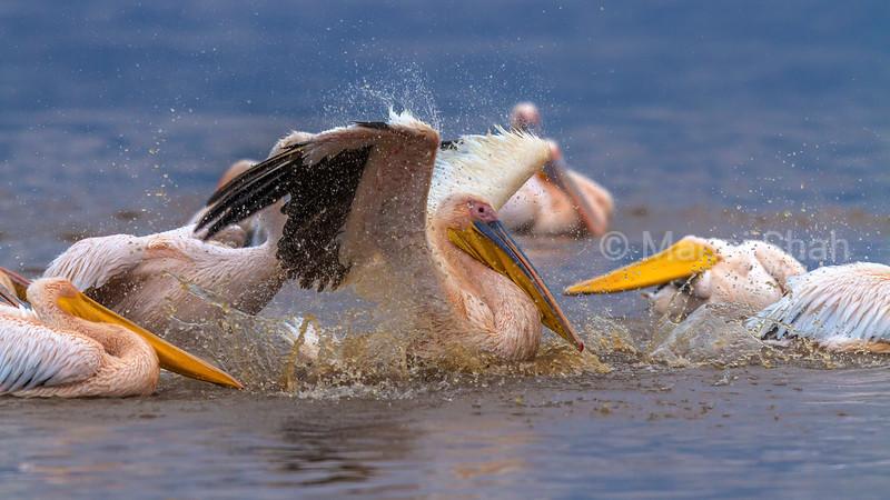 White Pelicans bathing in Lake Nakuru water, Kenya