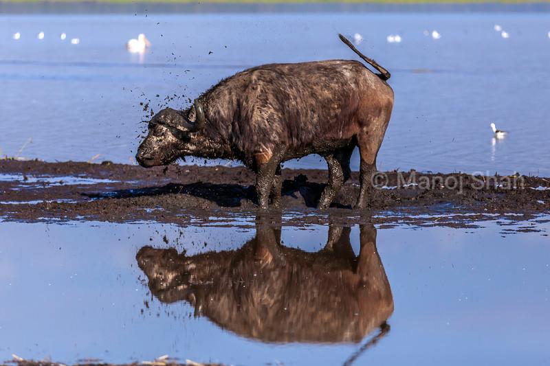 African Buffalo mud bathing in Lake Nakuru waters, Lake Nakuru National Park, Kenya