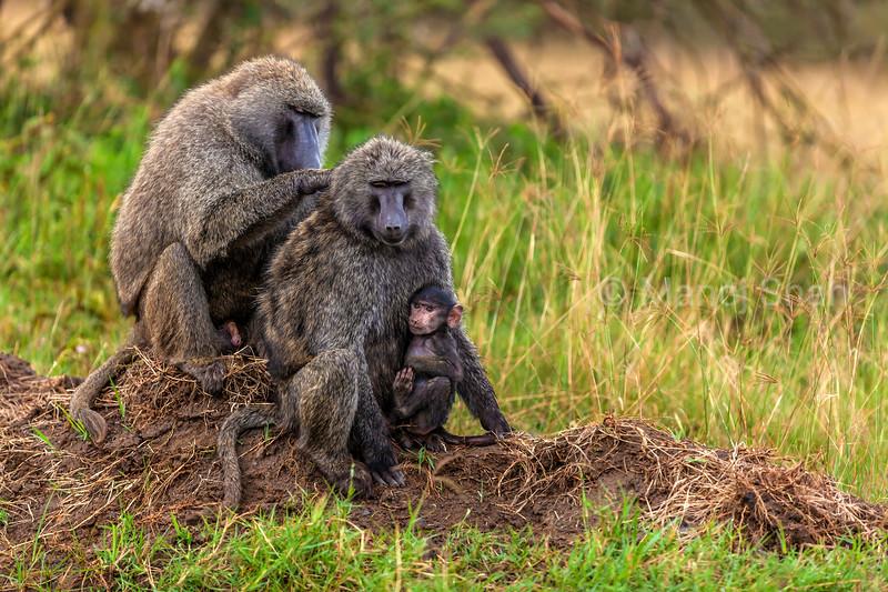 Male Olive baboon grooming female with baby in Lake Nakuru Ntional Park, Kenya.